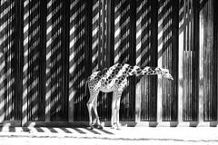 Tches et rayures (Camille Raffourt) Tags: girafe girafon animal noiretblanc blackandwhite nb bw parc lyon france rhne