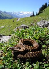 Vipera berus (aspisatra) Tags: vipera berus marasso pliade vipre serpent snake viper