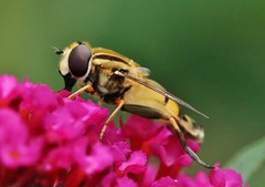 Hoverfly (Hugo von Schreck) Tags: hugovonschreck fly fliege hoverfly schwebfliege macro makro insect insekt canoneos5dsr tamron28300mmf3563divcpzda010