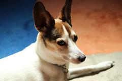 My pet (koutakuokumura) Tags: pet dog canon eoskissx7