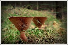 Twin Mushrooms  (frdmk) Tags: twin mushroom nature forrest autumn