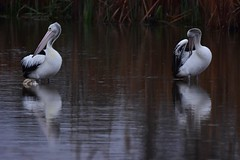 Pelicans preening (Luke6876) Tags: australianpelican pelican bird animal wildlife australianwildlife
