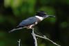 martin pêcheur d'Amérique ---  belted kingfisher --- martín gigante norteamericano (Jacques Sauvé) Tags: martin pêcheur damérique belted kingfisher martín gigante norteamericano ave bird oiseau