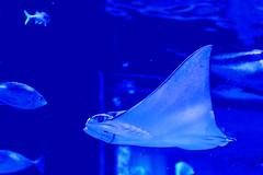 Spotted Eagle Ray of Shinagawa Aquarium :  (Dakiny) Tags: japan tokyo shinagawa shinagawaku katsushima city street park shinagawakuminpark aquarium shinagawaaquarium creature animal fish ray eagleray spottedeagleray blue dark nikon d7000 nikkor 35mm f18g afsdxnikkor35mmf18g nikonafsdxnikkor35mmf18g nikonclubit