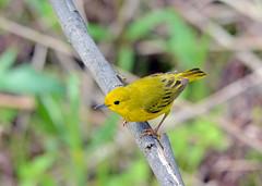 Yellow Warbler (av8s) Tags: yellowwarbler warbler songbirds perchingbirds birds wildlife nature photography nikon d7100 sigma 120400mm maumeebay ohio oh