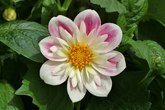 another dahlia............... (Suzie Noble) Tags: dahlia flower flowers flowertubs garden strathglass struy