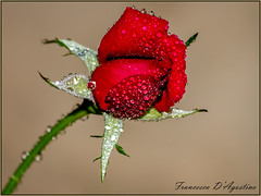 Rosa rossa (Francesca D'Agostino) Tags: rosa rose rosso red fiore flower colori colors