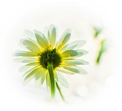 Star Daisy. (Omygodtom) Tags: contrast composition flower flickr abstract art daisy outdoors nature natural nikon d7100 nikon70300mmvrlens star diamond facebook