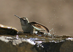 Hummingbird (CGDana) Tags: washington bird avian pnw pacific nw tulalip canon 7d hummingbird bath water splash
