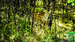 Assiniboine Park - September 14, 2016 15-41-39 (DerboPhoto) Tags: assiniboinepark deer doe beautiful 204 winnipeg manitoba canada derbophoto forest