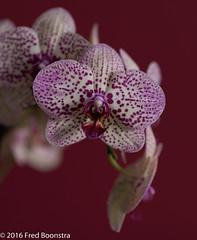 IMG_1089 (A.J. Boonstra) Tags: phalaenopsis plant orchid orchidee orchidphalaenopsis canoneos canon70d ef100mmf28lmacroisusm falconeyesskk2150d bokeh