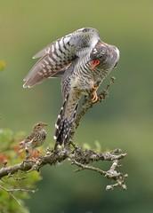 Up here! (OWL62) Tags: devon dartmoor nikon migration cuckoo