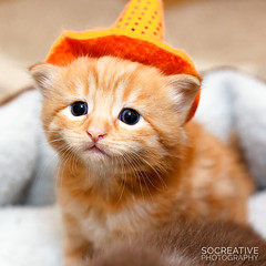 Harry the Wizard (socreative) Tags: kitten kitty kitteh cat ginger harry wizard magic cute cuteness meow cutie pet pets animals animal predator tiny baby love beauty dof closeup