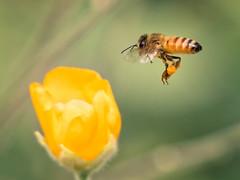 Bee Level (Muzzlehatch) Tags: honeybee bee flower pollen macro pretty