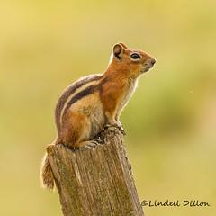 Golden-mantled Ground Squirrel (Lindell Dillon) Tags: goldenmantledgroundsquirrel colorado wildlife nature lindelldillon