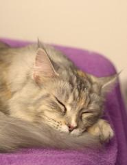 Sleepy Cat (eagle1effi) Tags: nef raw nikon cat d5100 iso3200 maine coon katze pussy pet miezi grace silvana felis felini mulle liebe tübingen eagle1effi damncool muschi mainecoon mieze kitty