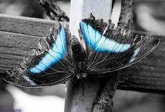 K46A8078-2 (Yvonne23021984) Tags: schmetterling butterfly hamm germany deutschland maxipark markro photography macrophotography canon canonphotography markofotografy canoneos7dmarkii insects insekten nature naturfotografie naturephotography closeup colorkey schmetterlinge butterflies