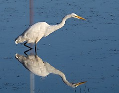 Narcissus:  Egret reflection (piranhabros) Tags: egret reflection greategret bird animal marsh pond oregon morning narcissus wading water