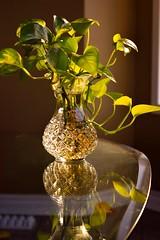 In the glow of the evening sun! (sruthyanu) Tags: sunlight golden mirror gold dusk autumn inthemirror indoor home bright intheglowoftheeveningsun glow evening sun plant light flickr nikon nikond5500 d5500