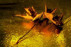And So It Begins... Autumn (Natalia Medd) Tags: leaf golden yellow bright color colour texture autumn fall maple dry brown reflection september