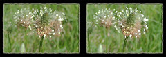 Buckhorn Plantain Flower 1 - Crosseye 3D (DarkOnus) Tags: pennsylvania buckscounty huawei mate 8 cell phone 3d stereogram stereography stereo darkonus closeup macro bloom weed flower buckhorn plantain crossview crosseye