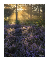 Rays of Light - Explored! (JRTurnerPhotography) Tags: jaketurner jrturnerphotography canon canon5dmarkiii canon24105mmf4lis picture print image photo photograph photography photographer landscapephotography landscape heathland heath common snelsmorecommon newbury berkshire england uk gb unitedkingdom greatbritain europe britishcountryside countryside trees woodland heather ferns nature sunrise sun sunrays mist fog lightbeams purple green flora dawn