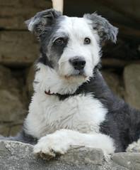 SEGUER (Joan Biarns) Tags: seguer gos perro garrotxa beuda girona catalunya 205 panasonicfz1000