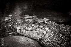 Croc #0584 (svenpetersen1965) Tags: croc crocodile dangerous jaws pond reptile samuicrocodilefarm teeth kosamui changwatsuratthani thailand th