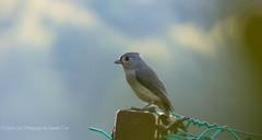 Tufted Beauty (1 of 1) (amndcook) Tags: farm michigan outdoors bird field nature tuftedtitmouse wildlife