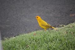 Hawaii (Kurt Miller N.M.) Tags: saffron finch bird yellow birdwatching naalehu hawaii