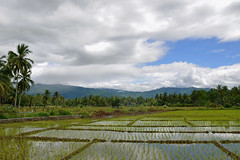 Sibolga - Future Crops (Drriss & Marrionn) Tags: travel sibolga sumatra indonesia outdoor field grass rice plant plants landscape ricefields green sky cloud