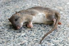 Pests Mice Rats Etc (British_Pest_Control_Association) Tags: ratte maus nagetier schwanz fell tot liegend ruhe katzenfutter ungeziefer plage allesfresser germany
