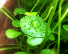 Water Pennyworth -  (Simmy Sachart) Tags: nature water waterdrops rain drops green fresh plants garden bangkok