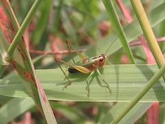 Conocephalus nigropleurum (tigerbeatlefreak) Tags: katydid insect orthoptera tettigoniidae wisconsin conocephalus nigropleurum