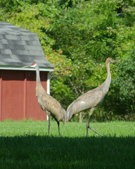 Sandhill  Crane (barbaragaillewis) Tags: sony sonyhx9v bird sandhillcranes cranes summer august oaklandcounty michigan nature outdoors 2016