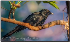 Asian Koel (Male) (Shutter Shooter) Tags: india male nature morninglight nikon ngc redeye copyspace calcutta westbengal d90 blackfeather asiankoel nikon300f4 perchedonatreebranch