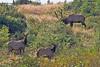 Mr. Big and His Harem (Peggy Collins) Tags: canada britishcolumbia elk grazing sunshinecoast wildanimals bullelk rooseveltelk elkherd peggycollins