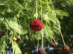 Parkia pendula / fava Bolota (veiotoyo) Tags: flores vermelhas flor fabaceae Mimosaceae Parkia parkiapendula