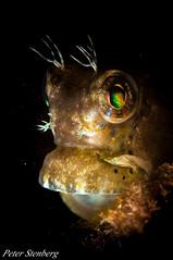Peter Stenberg_2012-12-19-2-2 (Peter Stenberg) Tags: macro photography philippines boracay peterstenberg underwaterphotography blenny ceram salarias ceramensis ceramblennysalariasceramensis