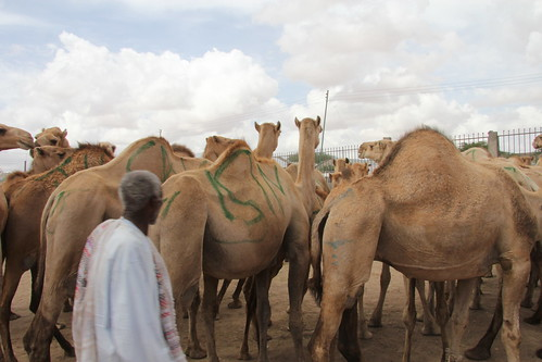 Camel Market (11)