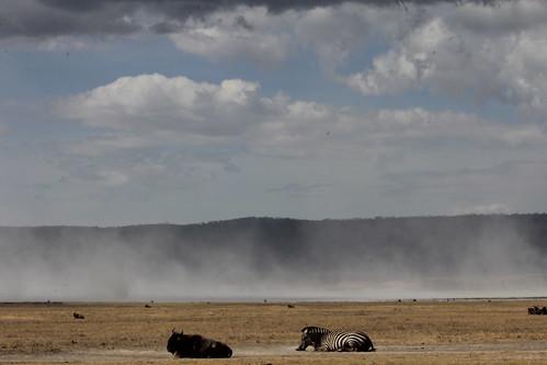 Zebra and Wildebeest in Ngorongoro Crater (1)