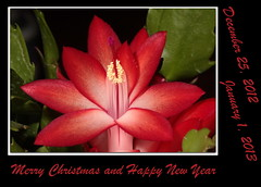 Merry Christmas and Happy New Year (ctofcsco) Tags: christmas new cactus usa plant flower classic nature america canon happy colorado unitedstates united year explore telephoto christmascactus ii springs coloradosprings co northamerica 5d states usm teleconverter extender schlumbergera 2x superzoom eos5d extenderef2xii f3556l 35350mm ef2x ef35350mm ef35350mmf3556lusm 5dclassic 5dmark1 5dmarki eos5dclassic me2youphotographylevel2 e2youphotographylevel1 e2youphotographylevel2