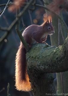 Eichhörnchen, NGID669363835