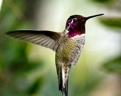 Male Anna's Hummingbird hovering (Pat Durkin - Orange County, CA) Tags: backyard hovering maleannashummingbird