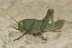 Anacridium aegyptium - Egyptische treksprinkhaan (henk.wallays) Tags: france up close cricket grasshopper rousson egyptische anacridium aegyptium sprinhaan treksprinkhaan orthopthera