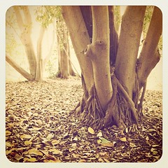 igers #iphone #iphone4 #iphoneonly #jj_forum #instadaily... (Victor Hernandez Photography) Tags: tree vintage jj ucr iphone joshjohnson vdh iphone4 thisiscalifornia iphonephotography iphoneography igers iphoneonly hipstamatic instagram statigram jjforum instadaily jjchallenge instagramhub instagood uploaded:by=flickstagram jamesfavourites instagram:photo=58668548523031