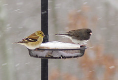 It's a bit blizzardy.... (AngelaFreeman) Tags: snow bird animal illinois junco finch blizzard blackeyed tamron90mm blackeyedjunco pentaxk5