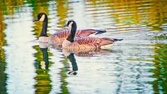 Canadian Geese (JSB PHOTOGRAPHS) Tags: geese canadian plugin topaz dsc31872editeditedit