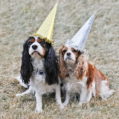 Happy New Year! :) (Sunna Gautadttir) Tags: party dog pet pets cute dogs animal animals canon eos 50mm funny holidays adorable hats newyear 50mm14 tricolor newyearseve 5d cavalier blenheim tricolour cavalierkingcharlesspaniel mirra happynewyear partyhats sunna fjalar sunnaphotography sunbeam93 skutulsfjalar lingsmirra sunnagautadttir