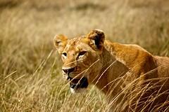 Lioness (philipdumas) Tags: africa kenya wildlife lions getty bigcats predators masaimara